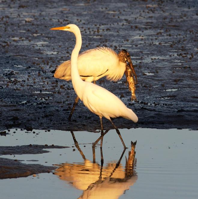 Egret and Wood Stork